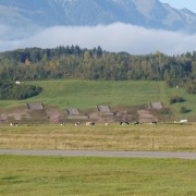 Typical Swiss scenery near the Thun. Green grass, cows, and tank gunnery targets in background